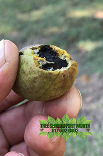 Bacterial Canker Diseases Of Custard Apple